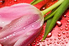 Free Tulip With Water Droplets Royalty Free Stock Photography - 6810477