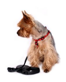 Free Small Dog With Dog-lead Stock Photo - 6810590