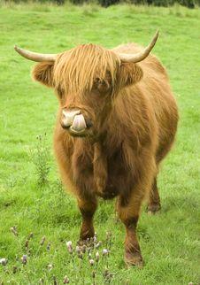 Scottish Highland Cow Royalty Free Stock Photos
