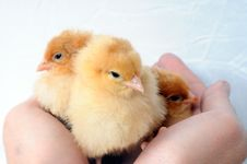 Free Three Tiny Fluffy Chicken In Hands Stock Image - 6810891