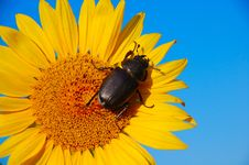 Free Scarab Flower Royalty Free Stock Photography - 6812057