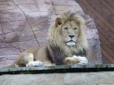 Free Lion Royalty Free Stock Photos - 6812098