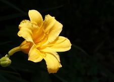 Free Yellow Day Lily Royalty Free Stock Photos - 6812678