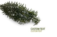 Conifer Branch Stock Photos