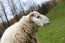 Free The Sheep Royalty Free Stock Photography - 6813457