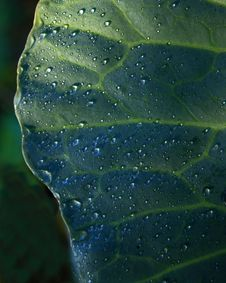 Dew Drops On Cabbage Leaf Stock Images