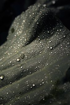 Dew Drops On Cabbage Leaf Royalty Free Stock Image
