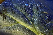 Dew Drops On Cabbage Leaf Royalty Free Stock Photos