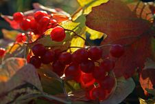 Free Guelder-rose Stock Image - 6814271