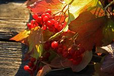 Free Guelder-rose Stock Photos - 6814273