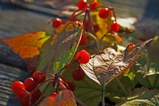 Free Guelder-rose Stock Photo - 6814280