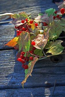 Free Guelder-rose Stock Image - 6814281