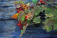 Free Guelder-rose Stock Photos - 6814283