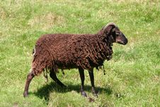 Free Black Sheep Stock Photo - 6814650