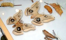 Free Poly Antherea Moth Collection Royalty Free Stock Image - 6814806
