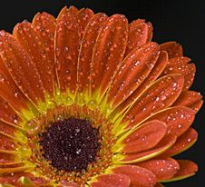 Free Gerbera 3 Royalty Free Stock Photography - 6814907