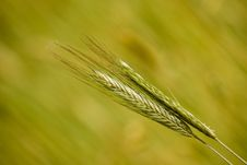 Free Two Rye Ears Stock Photos - 6816433