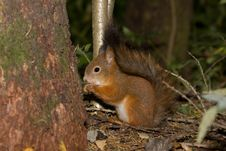 Free Squirrel Royalty Free Stock Photography - 6816457