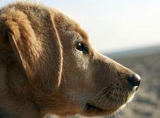 Puppy Labrador Stock Image