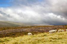 Free Sheep In Scottish Highlands On Cloudy Day Stock Photography - 6818442