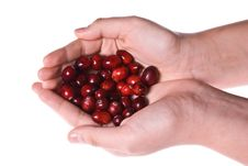 Cranberries In Cupped Hands Stock Photo