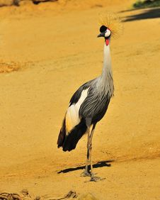 West African Crowned Crane Royalty Free Stock Photo