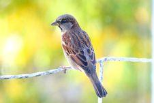 Free Sparrow Royalty Free Stock Image - 6819126