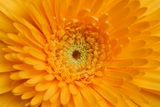 Free Yellow Gerber Royalty Free Stock Photos - 6819838