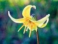 Free Erythronium Stock Photography - 68179632
