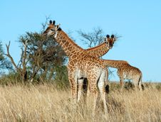 Free Young Giraffes In Africa Stock Photography - 6820012