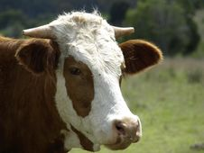 Free Portrait Of A Cow Royalty Free Stock Photography - 6820067