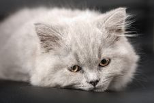 Sleepy British Kitten Over Black Background Royalty Free Stock Image