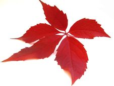 Free Red Leaf Royalty Free Stock Photo - 6821535