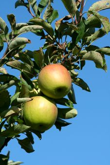 Free Granny Smith Apples On A Tree Royalty Free Stock Image - 6821876