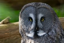 Free Great Grey Owl Royalty Free Stock Photos - 6823118