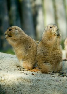 Free Prairie Dog Royalty Free Stock Image - 6823216