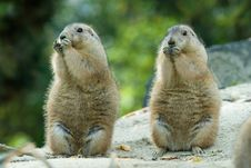 Free Prairie Dog Stock Photography - 6823252