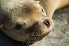 Free Sea Lion Royalty Free Stock Photos - 6823258