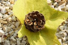 Free Leaf With Pine Cone Royalty Free Stock Photography - 6825507