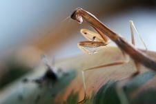 Free A Chinese Mantis (Tenodera Aridifolia Sinensis) Royalty Free Stock Images - 6826409