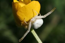 Free White Crab Spider Stock Photo - 6826510