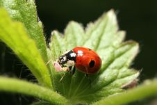 Two-Spotted Ladybird With Prey Stock Image