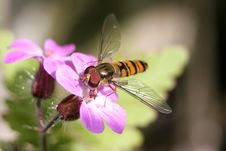 Free A Hoverfly On A Pink Flower Stock Images - 6826654