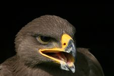 Free Head Of Eagle Royalty Free Stock Photos - 6827058