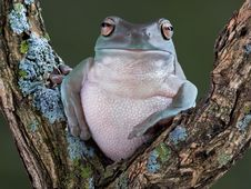 Free Resting Tree Frog Royalty Free Stock Images - 6827549