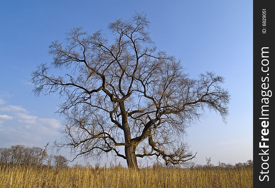 Lonely old elm in the autumn