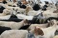 Free Goat Royalty Free Stock Photos - 6831028