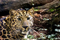 Free Cheetah Stock Photography - 6833452