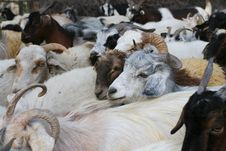 Free Goat Stock Photography - 6830982