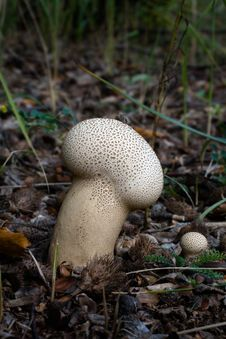 Free Calvatia Excipuliformis (1) Stock Photography - 6832162